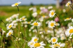 Άσπρος τομέας chamomiles Στοκ Φωτογραφίες
