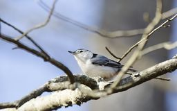 Άσπρος-το πουλί τσοπανάκων, carolinensis Sitta, κρατικό πάρκο βουνών κόκκινων κορυφών Στοκ Εικόνα