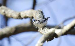 Άσπρος-το πουλί τσοπανάκων, carolinensis Sitta, κρατικό πάρκο βουνών κόκκινων κορυφών Στοκ Εικόνες