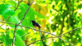 Άσπρος-το πουλί Shama με τα τρόφιμα για νέο - γεννημένο πουλί στο mounth του απόθεμα βίντεο