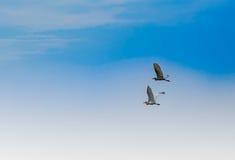 Άσπρος τσικνιάς, ερωδιός, που πετά στον όμορφο ουρανό, πετώντας πουλί στο μπλε ουρανό Στοκ εικόνα με δικαίωμα ελεύθερης χρήσης
