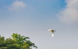 Άσπρος τσικνιάς, ερωδιός, που πετά στον όμορφο ουρανό, πετώντας πουλί Στοκ εικόνα με δικαίωμα ελεύθερης χρήσης