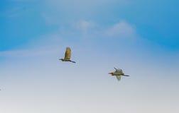 Άσπρος τσικνιάς, ερωδιός, που πετά στον όμορφο ουρανό, πετώντας πουλιά Στοκ φωτογραφία με δικαίωμα ελεύθερης χρήσης