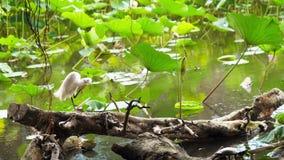 Άσπρος τσικνιάς πουλιών που στέκεται σε έναν κορμό δέντρων στο βοτανικό κήπο της Ταϊβάν Ταϊπέι απόθεμα βίντεο