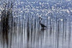 Άσπρος τσικνιάς που αλιεύει στο μπλε νερό Στοκ Φωτογραφίες