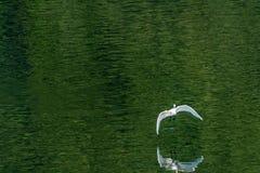 Άσπρος τσικνιάς που πετά χαριτωμένα πέρα από μια λίμνη Στοκ Εικόνες