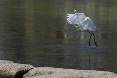 Άσπρος τσικνιάς που προσγειώνεται σε έναν ποταμό στο Κιότο στοκ φωτογραφίες