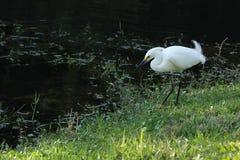 Άσπρος τσικνιάς σε Everglades στοκ φωτογραφίες