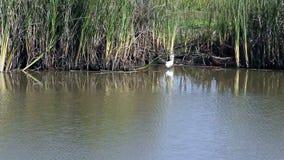 Άσπρος τσικνιάς στους υγρότοπους Καλιφόρνιας που τρέπονται σε φυγή φιλμ μικρού μήκους
