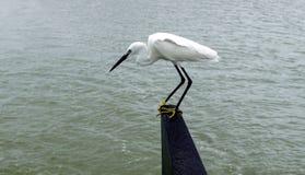 άσπρος τσικνιάς Στοκ φωτογραφία με δικαίωμα ελεύθερης χρήσης