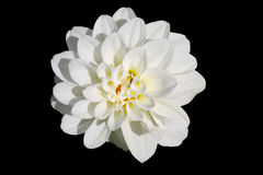 Άσπρος υάκινθος Στοκ Εικόνες