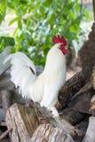Άσπρος υπερήφανος κόκκορας Κόκκορας στο αγρόκτημα Στοκ Φωτογραφίες
