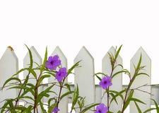 Άσπρος φράκτης στύλων με τα πορφυρά λουλούδια που απομονώνονται στο λευκό - δωμάτιο για το κείμενο στο τοπ μισό Στοκ Εικόνες