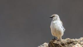Άσπρος-φτερωτό Snowfinch Στοκ φωτογραφία με δικαίωμα ελεύθερης χρήσης