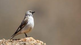 Άσπρος-φτερωτό Snowfinch Στοκ Εικόνες