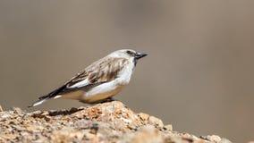 Άσπρος-φτερωτό Snowfinch Στοκ Φωτογραφία
