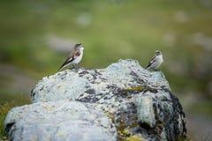 Άσπρος-φτερωτό Snowfinch Στοκ Φωτογραφίες
