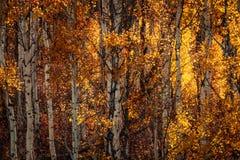 Άσπρος φλοιός και κίτρινα φύλλα Στοκ φωτογραφία με δικαίωμα ελεύθερης χρήσης