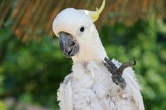 Άσπρος χαιρετισμός cockatoo Στοκ Φωτογραφίες