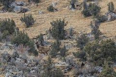 Άσπρος-χειλικά albirostris Przewalskium deers ή ελάφια Thorold σε μια ορεινή θιβετιανή περιοχή, Κίνα στοκ εικόνα