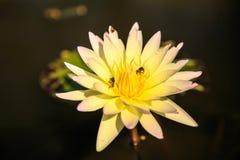 Άσπρος λωτός και κίτρινος Στοκ φωτογραφία με δικαίωμα ελεύθερης χρήσης