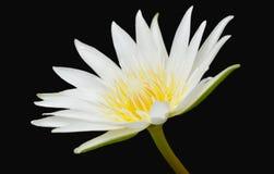Άσπρος λωτός με το κίτρινο λουλούδι κρίνων νερού γύρης στο μαύρο υπόβαθρο Στοκ εικόνα με δικαίωμα ελεύθερης χρήσης