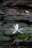 Άσπρος λωτός fower Στοκ φωτογραφία με δικαίωμα ελεύθερης χρήσης