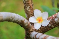 Άσπρος όμορφος λουλουδιών Plumeria στα κοινά pocynaceae ονόματος δέντρων, Frangipani, δέντρο παγοδών, δέντρο ναών Στοκ Φωτογραφία
