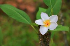Άσπρος όμορφος λουλουδιών Plumeria στα κοινά pocynaceae ονόματος δέντρων, Frangipani, δέντρο παγοδών, δέντρο ναών Στοκ φωτογραφία με δικαίωμα ελεύθερης χρήσης