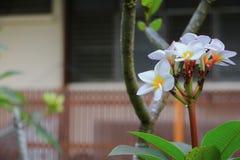 Άσπρος όμορφος λουλουδιών Plumeria στα κοινά pocynaceae ονόματος δέντρων, Frangipani, δέντρο παγοδών, δέντρο ναών Στοκ φωτογραφίες με δικαίωμα ελεύθερης χρήσης