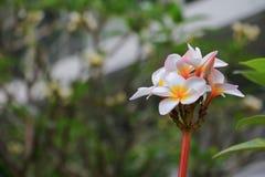 Άσπρος όμορφος λουλουδιών Plumeria στα κοινά pocynaceae ονόματος δέντρων, Frangipani, δέντρο παγοδών, δέντρο ναών Στοκ εικόνα με δικαίωμα ελεύθερης χρήσης