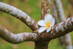 Άσπρος όμορφος λουλουδιών Plumeria στα κοινά pocynaceae ονόματος δέντρων, Frangipani, δέντρο παγοδών, δέντρο ναών Στοκ Εικόνες