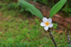 Άσπρος όμορφος λουλουδιών Plumeria στα κοινά pocynaceae ονόματος δέντρων, Frangipani, δέντρο παγοδών, δέντρο ναών Στοκ εικόνες με δικαίωμα ελεύθερης χρήσης