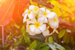 Άσπρος όμορφος λουλουδιών Plumeria στα κοινά pocynaceae ονόματος δέντρων, Frangipani, δέντρο παγοδών, δέντρο ναών Στοκ Εικόνα