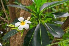 Άσπρος όμορφος λουλουδιών Plumeria στα κοινά pocynaceae ονόματος δέντρων, Frangipani, παγόδα - ναός Στοκ φωτογραφία με δικαίωμα ελεύθερης χρήσης