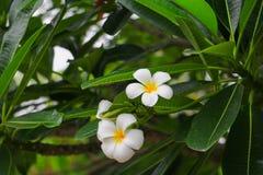 Άσπρος όμορφος λουλουδιών Plumeria στα κοινά pocynaceae ονόματος δέντρων, Frangipani, παγόδα - ναός Στοκ Εικόνες