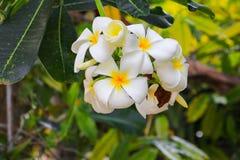 Άσπρος όμορφος λουλουδιών Plumeria στο δέντρο (κοινά pocynaceae ονόματος Στοκ εικόνα με δικαίωμα ελεύθερης χρήσης