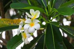 Άσπρος όμορφος λουλουδιών Plumeria στο δέντρο (κοινά pocynaceae ονόματος Στοκ εικόνες με δικαίωμα ελεύθερης χρήσης