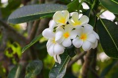 Άσπρος όμορφος λουλουδιών Plumeria στο δέντρο (κοινά pocynaceae ονόματος Στοκ Εικόνες