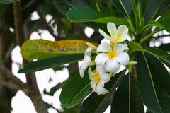 Άσπρος όμορφος λουλουδιών Plumeria στο δέντρο (κοινά pocynaceae ονόματος Στοκ φωτογραφίες με δικαίωμα ελεύθερης χρήσης