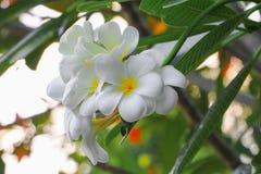 Άσπρος όμορφος λουλουδιών Plumeria στο δέντρο (κοινά pocynaceae ονόματος Στοκ φωτογραφία με δικαίωμα ελεύθερης χρήσης