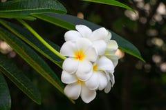 Άσπρος όμορφος λουλουδιών Plumeria στο δέντρο (κοινά pocynaceae ονόματος Στοκ Φωτογραφία