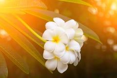 Άσπρος όμορφος λουλουδιών Plumeria στο δέντρο με τον ελαφρύ τόνο ανατολής Κοινά pocynaceae ονόματος, Frangipani, δέντρο παγοδών,  Στοκ εικόνες με δικαίωμα ελεύθερης χρήσης