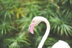 Άσπρος όμορφος πουλιών φλαμίγκο στα δασικά τροπικά ζώα φύσης ποταμών λιμνών - μεγαλύτερο φλαμίγκο στοκ εικόνες με δικαίωμα ελεύθερης χρήσης