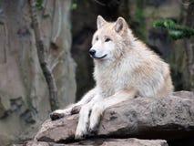 Άσπρος λύκος στην πέτρα Στοκ εικόνα με δικαίωμα ελεύθερης χρήσης