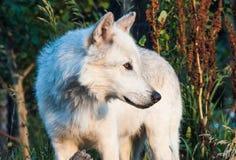 Άσπρος λύκος Στοκ Φωτογραφία
