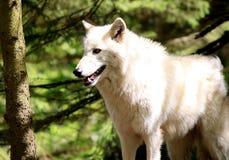 άσπρος λύκος Στοκ φωτογραφίες με δικαίωμα ελεύθερης χρήσης