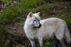 άσπρος λύκος Στοκ φωτογραφία με δικαίωμα ελεύθερης χρήσης