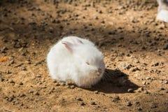 Άσπρος ύπνος κουνελιών Στοκ φωτογραφία με δικαίωμα ελεύθερης χρήσης