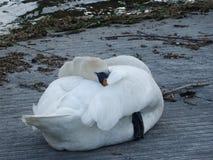 Άσπρος ύπνος κύκνων με το ράμφος του κάτω από το φτερό του Στοκ φωτογραφία με δικαίωμα ελεύθερης χρήσης